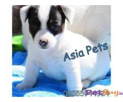 JACK RUSSELL Terrier Puppies for sale at best price in Mumbai