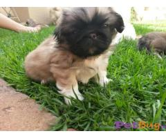 Lhasa Apso  Puppies for sale at best price in Mumbai