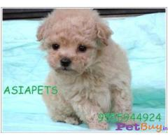 POODLE Puppies for sale at best price in Mumbai