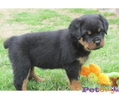 ROTTWEILER  Puppies for sale at best price in Mumbai
