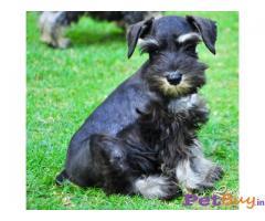 SCHNAUZER Puppies for sale at best price in Mumbai
