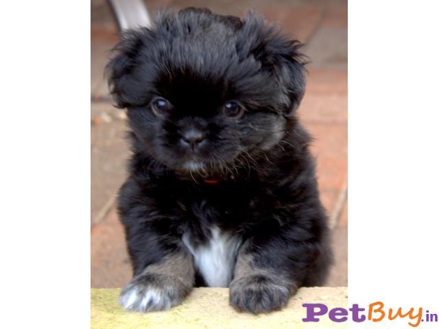 TIBETAN SPANIEL  Puppies for sale at best price in Mumbai