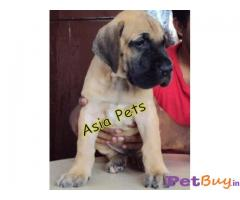GREAT DANE   Puppy for sale at best price in Chennai