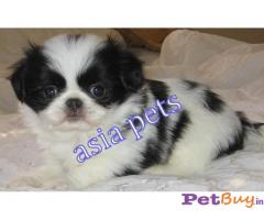 JACK RUSSELL Terrier Puppy for sale at best price in Chennai
