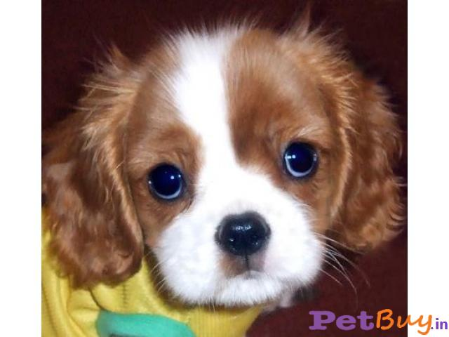 KING CHARLES SPANIEL Puppy for sale at best price in Chennai