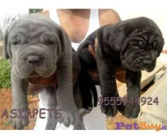 NEAPOLITAN Mastiff Puppy for sale at best price in Chennai