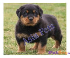 ROTTWEILER  Puppy for sale at best price in Chennai
