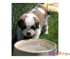 SAINT BERNARD Puppy for sale at best price in Chennai