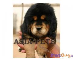 TIBETAN Mastiff Puppy for sale at best price in Chennai