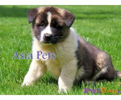 Akita puppy price in Agra, Akita puppy for sale in Agra