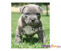 AMERICAN BULLY Puppy for sale india