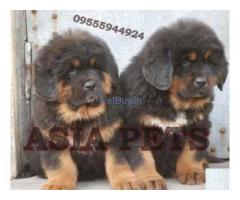 Tibetan Mastiff Puppies For Sale At Asia Pets
