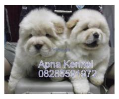 Chow Chow Puppies For Sale At Asia Pets