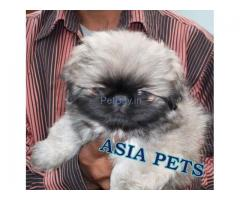 Pekingese Puppies For Sale At Asia Pets