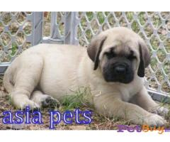 AMERICAN MASTIFF Puppy for sale india