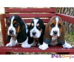 BASSET HOUND Puppy for sale india