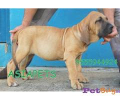 BLOOD HOUND Puppy for sale india