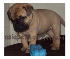 Bullmastiff Puppies For Sale At Asia Pets