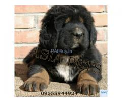 tibetan mastiff price in india