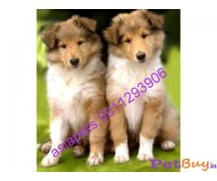 BORDER COLLIE Puppy for sale india