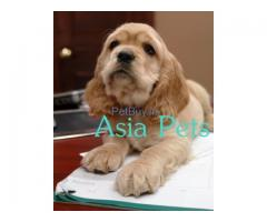Cocker Spaniel Pup Price In Ahmedabad | Cocker Spaniel Puppy Price In Ahmedabad