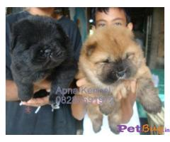 CHOW CHOW Puppy for sale india