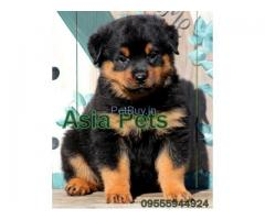 Rottweiler Pup Price In Ahmedabad | Rottweiler Puppy Price In Ahmedabad