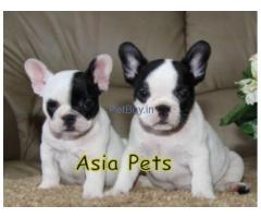 French Bulldog Pup Price In  Andhra Pradesh | French bulldog Puppy Price In  Andhra Pradesh