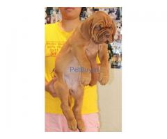 French Mastiff Pup Price In Delhi | French Mastiff Puppy Price In Delhi