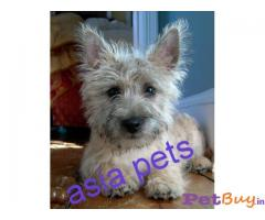 CAIRN TERRIER Puppy for sale india