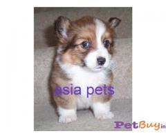 CORGI Puppy for sale india