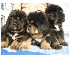 Tibetan Mastiff Pup Price In Gujarat | Tibetan Mastiff Puppy Price In Gujarat