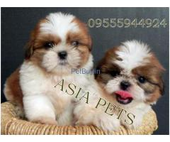 Shih Tzu Pup Price In Gurgaon | Shih Tzu Puppy Price In Gurgaon
